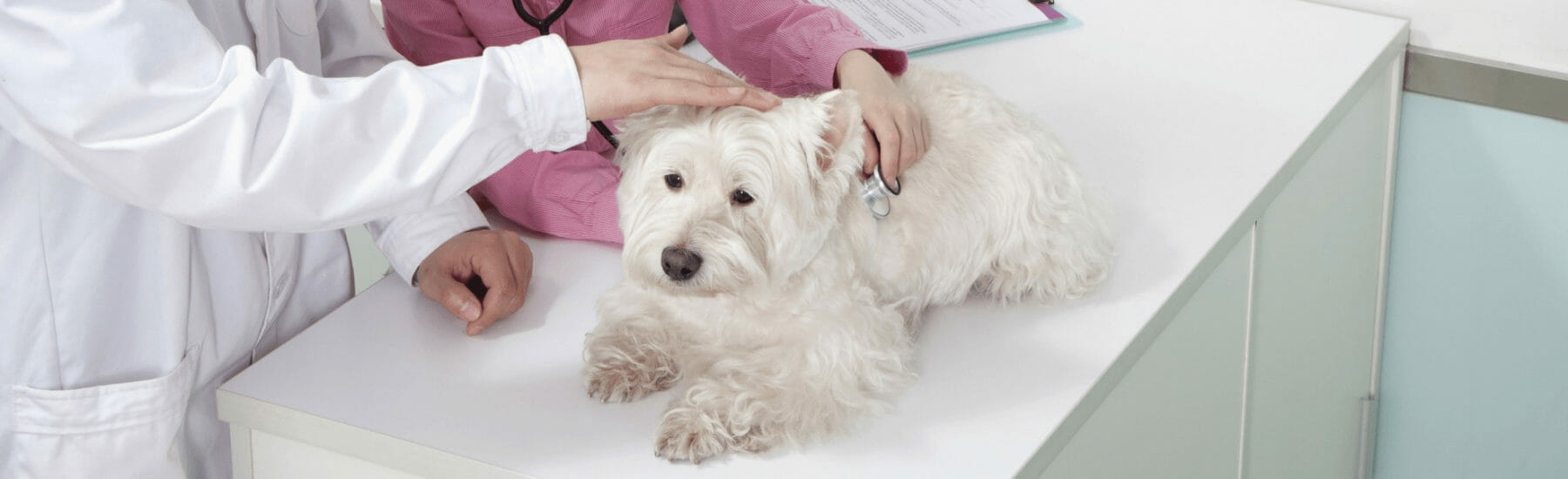 White dog getting examined by veterinarian