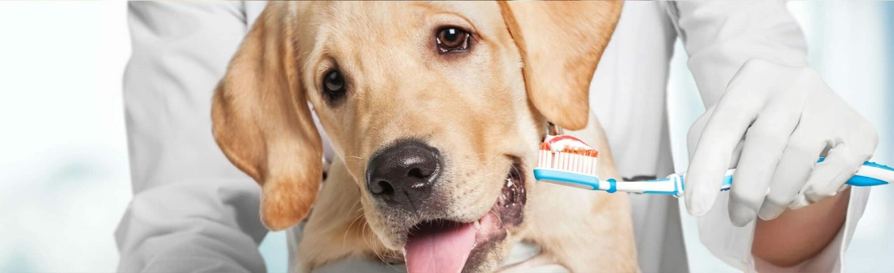 Golden dog getting teeth brushed by veterinarian