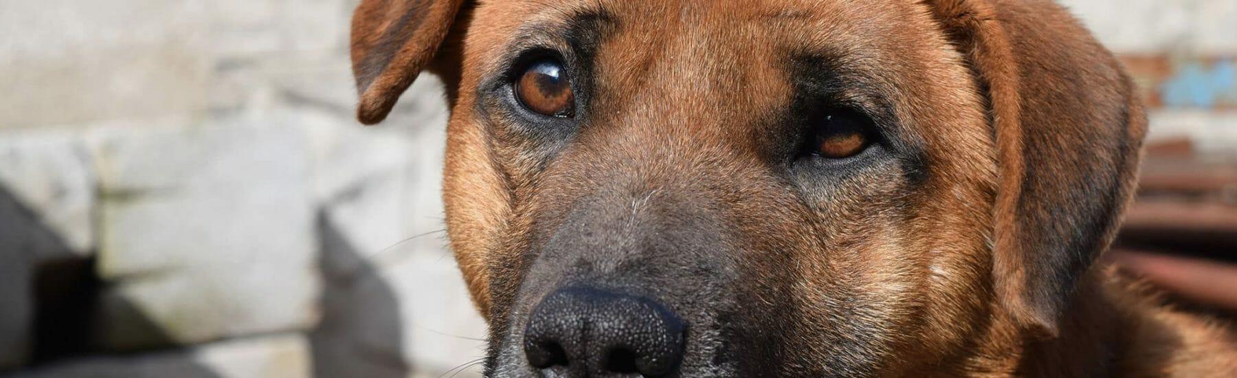 Older brown dog looking towards camera
