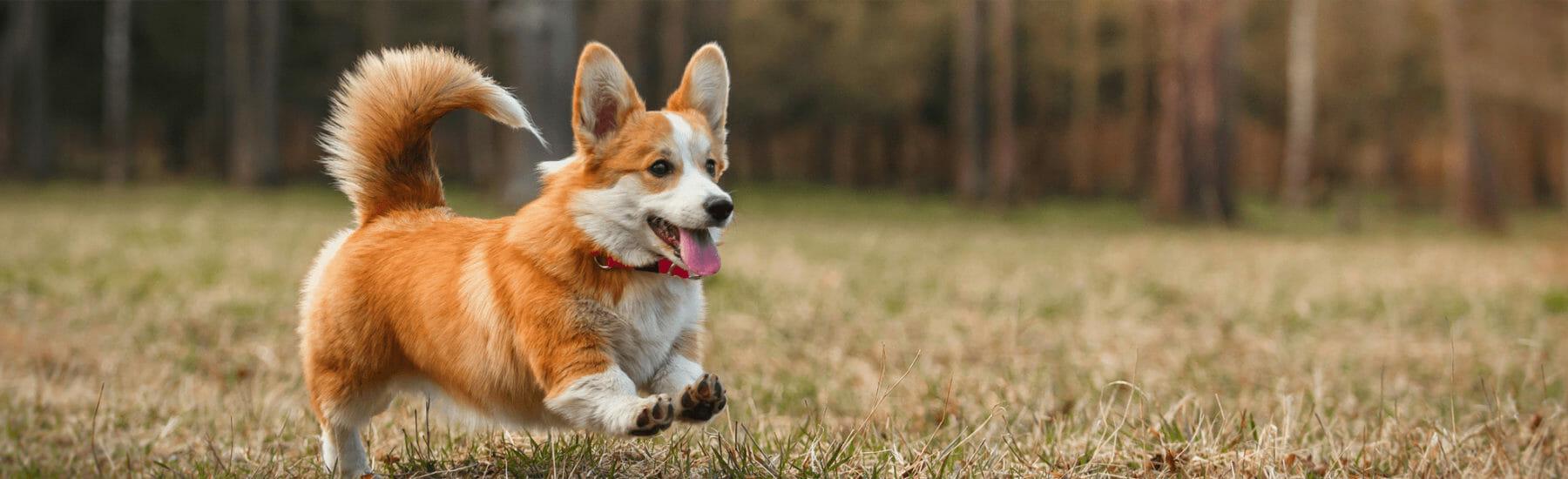 Orange dog jumping through the air