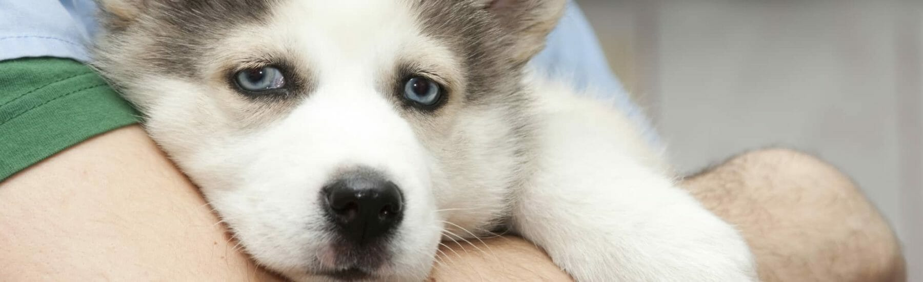 Husky being held by owner